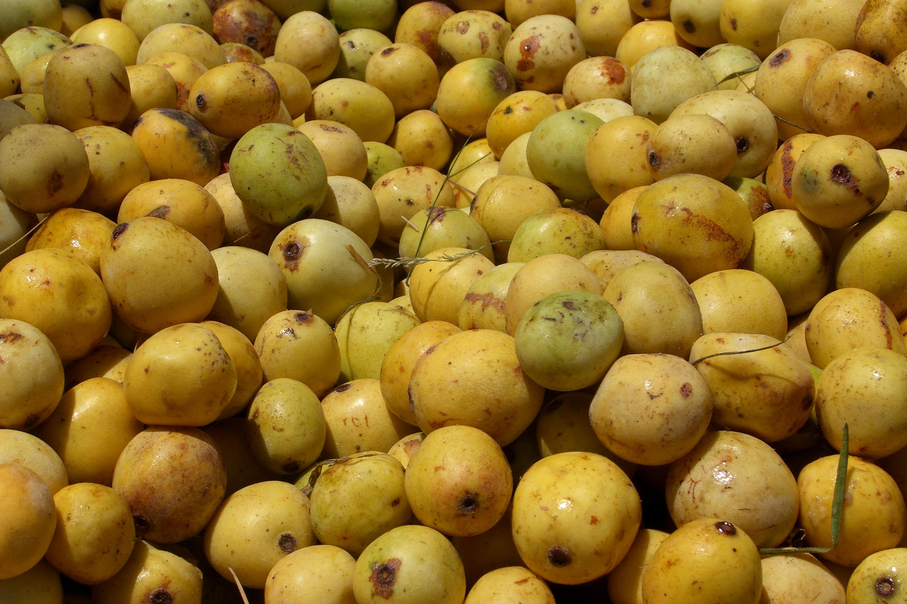 fruit monster marula fruit