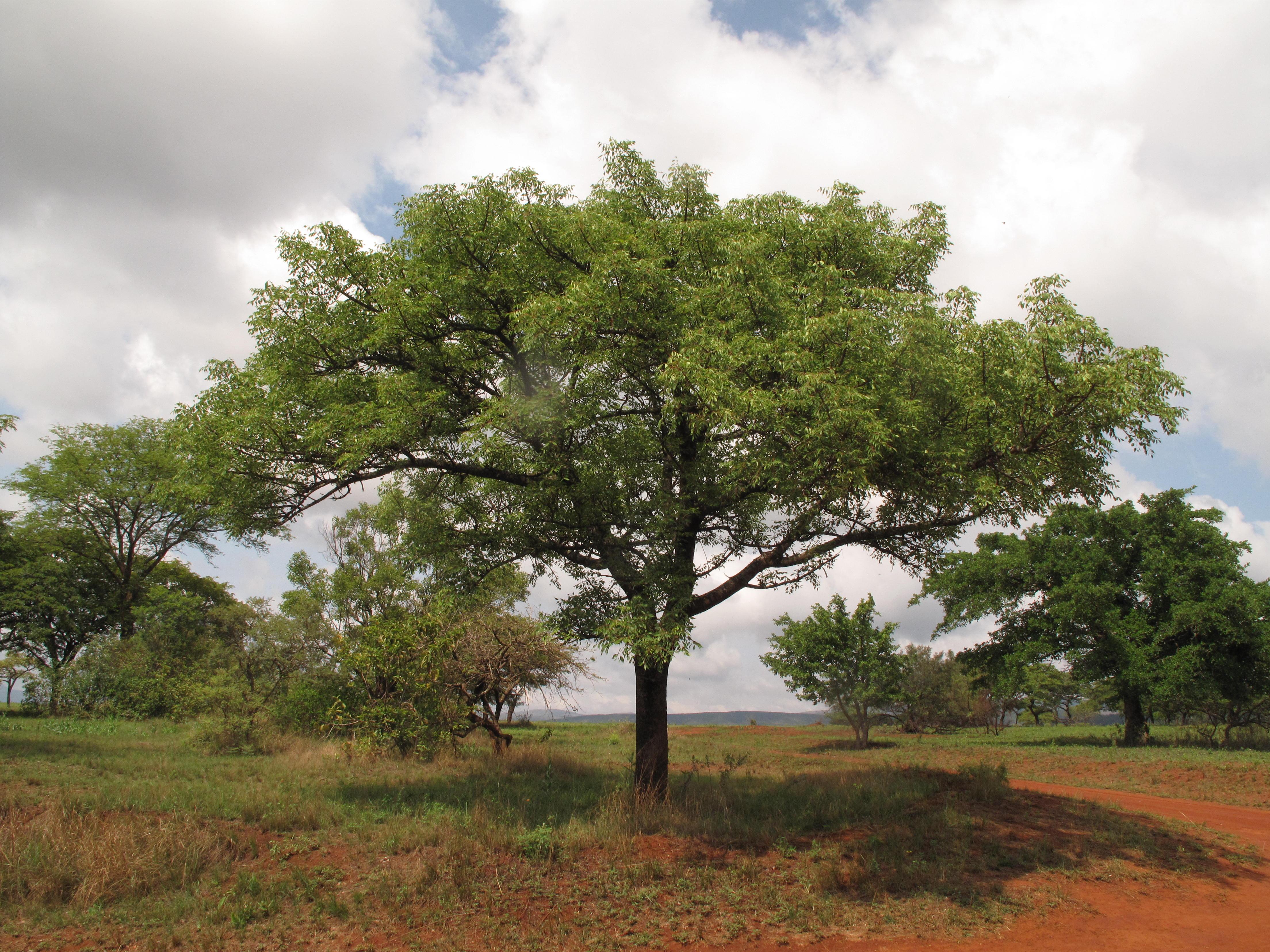 Marula Tree - Aurum Africa